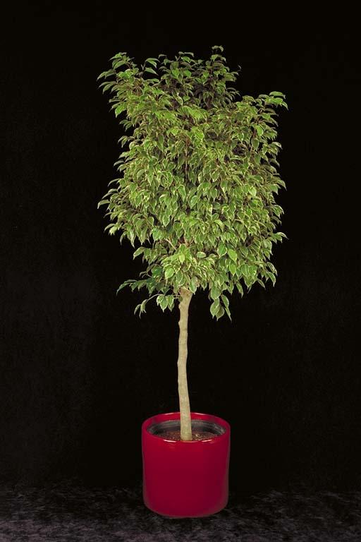 ficus benjamina con muchísimas raíces en la maceta: ¿trasplanto y